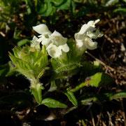 Weisse Brunelle (Prunella laciniata) Randen
