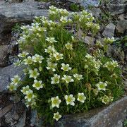 Flachblättriger Steinbrech (Saxifraga muscoides) Parpaner Rothorn
