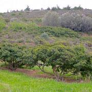 Mastixstrauch (Pistacia lentiscus var. Chia)