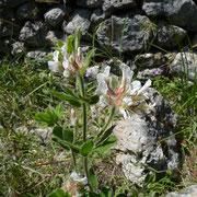 Behaarter Backenklee (Dorycnium hirsutum)