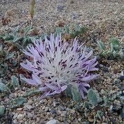 Zwerg-Flockenblume (Centaurea pumilio)