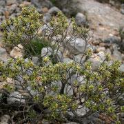 Silberweisse Spatzenzunge (Thymelaea tartonraira)