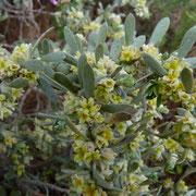 Behaarte Spatenzunge (Thymelaea hirsuta)