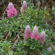 Kretischer Ebenholzstrauch (Ebenus cretica) auf Kreta endemisch