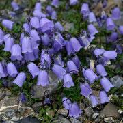 Scheuchzers Glockenblume (Campanula scheuchzeri)