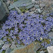 Mont Cenis-Glockenblume (Campanula cenesia)