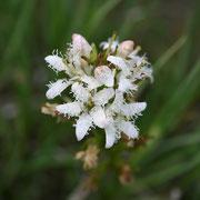 Fieberklee (Menyanthes trifoliata)