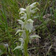Heiliges-Knabenkraut (Orchis sancta)