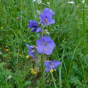Himmelsleiter = Jakobsleiter (Polemonium caeruleum)