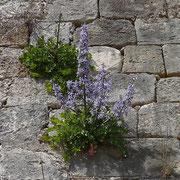 Kretische Rutenglockenblume (Petromarula pinnata) auf Kreta endemisch