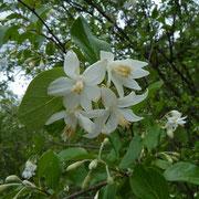 Echter Styraxbaum (Styrax officinalis)