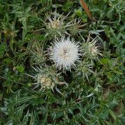 Weisse Artischoke (Cynara cornigera)