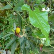 Immergrüne Osterluzei (Aristolochia sempervirens)