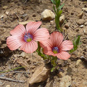 Weichhaariger Lein (Linum pubescens)