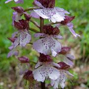 Purpur Knabenkraut (Orchis purpurea)