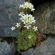 Trauben-Steinbrech = Rispen-Steinbrech (Saxifraga paniculata) Blüten weiss