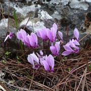 Griechisches Alpenveilchen (Cyclamen graecum)