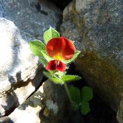 Rote Spargelbohne (Lotus tetragonolobus)