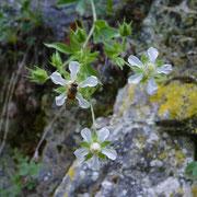 Vielstängeliges Fingerkraut (Potentilla caulescens)