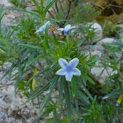 Griechischer Steinsame (Lithodora zahnii)