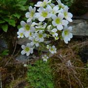 Trauben-Steinbrech = Rispen-Steinbrech (Saxifraga paniculata) Blüten rot punktiert