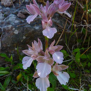 Schmetterlings-Knabenkraut (Orchis papilionacea)