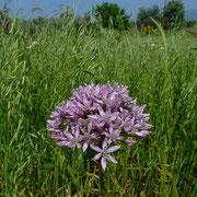 Schwarzer Lauch (Allium nigrum)