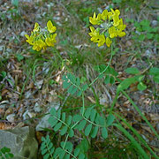Berg-Kronwicke (Coronilla coronata)