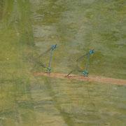 Hufeisen-Azurjungfern Paarungsrad