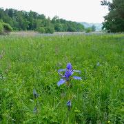 Sibirische-Schwertlilie (Iris sibirica) Flachmoor Schaarenwies