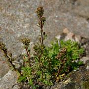 Schnee Edelraute (Artemisia nivalis)