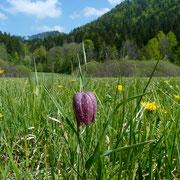 Perlhuhn-Schachblume (Fritillaria meleagris)
