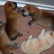 Hachiko mit Geschwistern
