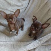 Chiots Chihuahua frère et soeur