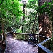 Kauri Regenwald. In der Maori-Mythologie gelten die Kauri-Bäume als die Urväter aller Lebewesen.