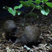Der Kiwi - nur nachts unterwegs oder wie hier im Kiwi-House -