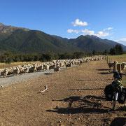 Schafe - meine ständigen Begleiter. Hier am Beginn des Rainbow Trails.