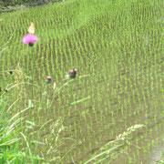 りびえのマルシェ便 ♡田園と野花 2012年5月