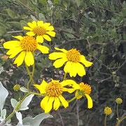 ❦ Jojoba and Brittlebush Native Wildflower