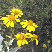 ♔ Jojoba and Brittlebush Native Wildflower