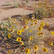 ❦ Desert Marigold Native Wildflower and Orange Desert Globemallow