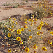 ♔ Desert Marigold Native Wildflower and Orange Desert Globemallow