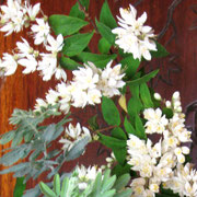 りびえのマルシェ便 ♡ウツギの花 2012年5月