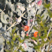 ❦ Jojoba, Orange Desert Globemallow and bee