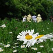 Die Wildblumenwiese entfaltet ihre Pracht