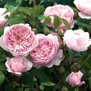 バラ ロゼッタ咲き