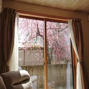 リビングから眺める桜 ①