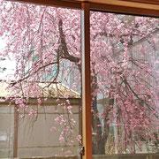 リビングから眺める桜 ②