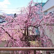 バルコニーから眺める桜