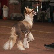 китайская хохлатая собачка Bibiana Vittoria dell Amore выставка Одесса